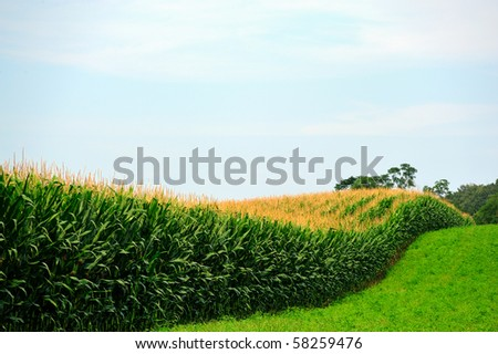 Amish Country Cornfield and rows of unpicked corn