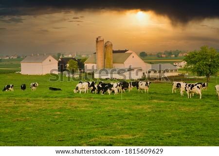 Amish farm near Intercourse, PA, dairy, cattle, Holstein Foto stock ©