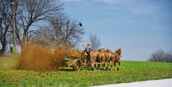Amish Farmer Fertilizing the Farm in Early Spring with Horses Pulling