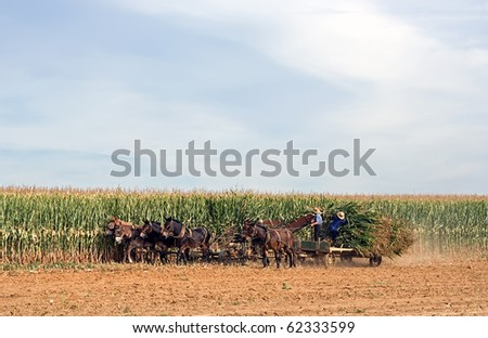 Amish Farmers Cutting Corn in Lancaster County,Pennsylvania