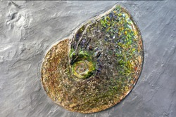 Ammolite fossil on sand stone background