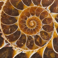 Ammonite Fossil Cross Section
