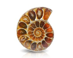 Ammonite fossil shell isolated on white background.This has clipping path.