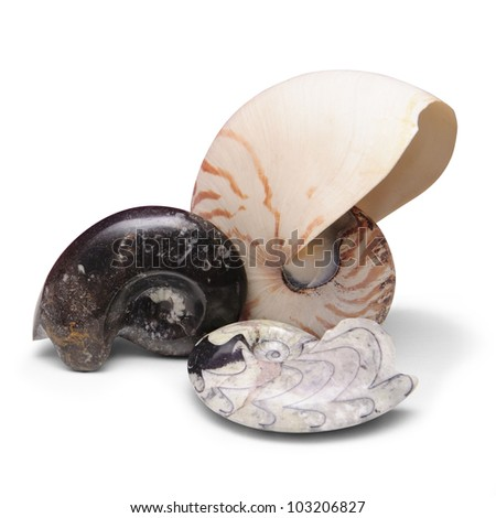 Ammonite fossils and nautilus shell on white background