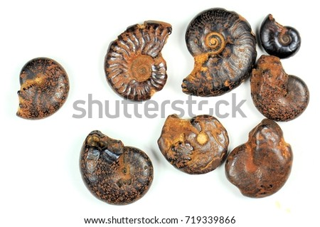 Ammonite fossils on a white background. 400 million years. Cretaceous-Devonian period. - Shutterstock ID 719339866