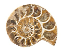 Ammonite is a prehistoric shell animal whose spiral shell was fossilized into a solid mineral and is now a object of collecting - isolated on white