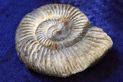 ammonites fossil texture as nice natural background