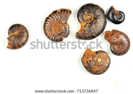 Ammonites fossils on a white background. 400 million years. Cretaceous-Devonian period. #713736847