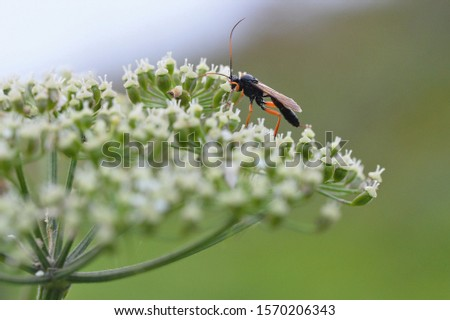 Ammophila sabulosa, the ammophile of sands, is a hymenopteran insect * of the family Sphecidae. This species is found throughout Europe, North Asia, Central Asia and North Africa.