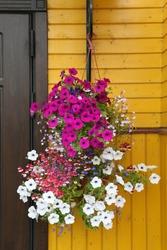 Ampel flowers, plants in flowerpot: petunia, lobelia, nemesia strumosa Danish Flag. Decorative garden, floral decor, flower decoration of house facade. Petunia, lobelia, nemesia strumosa in flower pot