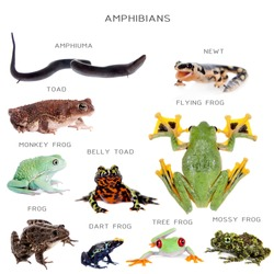 Amphibian education set, isolated on white background