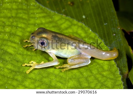 Amphibian metamorphosis - Tadpole changing into a frog