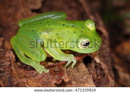 Amphibians of the Amazon rain-forest, South America, the equator. Tropical fauna of Ecuador.