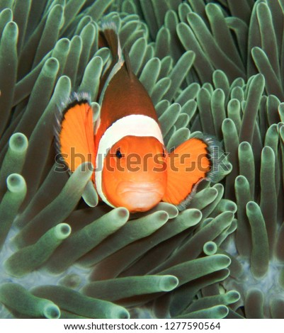 Amphiprion at underwaterworld #1277590564