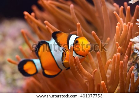stock photo amphiprion ocellaris clownfish in marine aquarium 401077753 - Каталог — Фотообои «Животные»