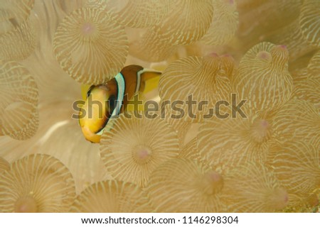 Amphiprion Ocellaris, Clownfish In Marine Aquarium, Close up Clownfish in aquarium, marine fauna