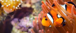 Amphiprion Ocellaris clownfish In marine aquarium. Orange corals in the background. Colorful pattern, texture, wallpaper, panoramic underwater view. Zoology, biology, science, education, zoo