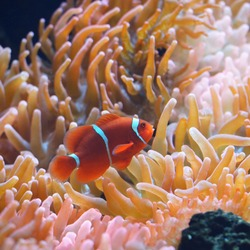 Amphiprion Ocellaris Clownfish In Marine Aquarium with anemones. Underwater view. Zoology, biology, wildlife, environmental conservation, research, education, zoo laboratory