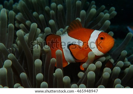 Amphiprion Ocellaris Clownfish. It called Nemo #465948947