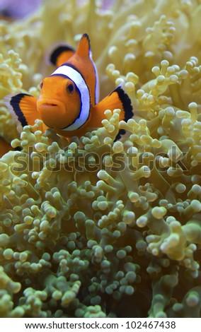 Amphiprion ocellaris clownfish nemo anemone