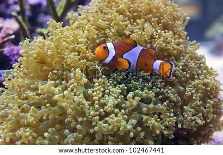 Ocellaris clownfish anemone - photo#21