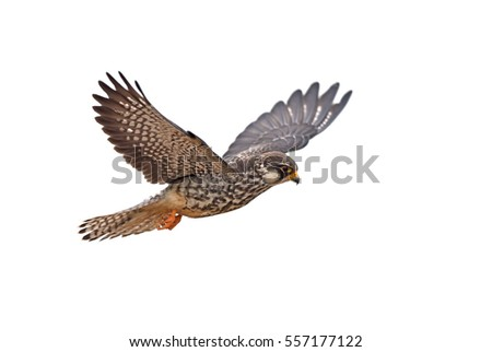 amur falcon on flying isolated...