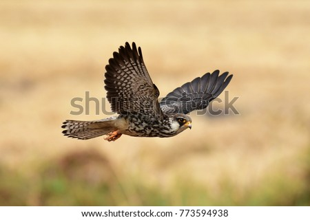 Amur Falcon \nThis female Falcon breeds in Siberia and China and winters in tropical countries like Thailand in which local and international bird of prey lovers await for its coming.