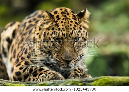 Amur leopard portrait, detail face #1025443930