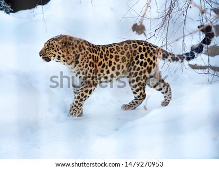 Amur leopard.  The far Eastern leopard, or Amur leopard, or Amur leopard is a predatory mammal of the cat family. A unique species in danger of extinction. #1479270953