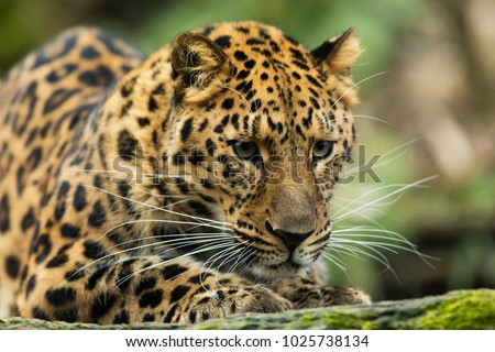 Amur leopard very close up in detail #1025738134