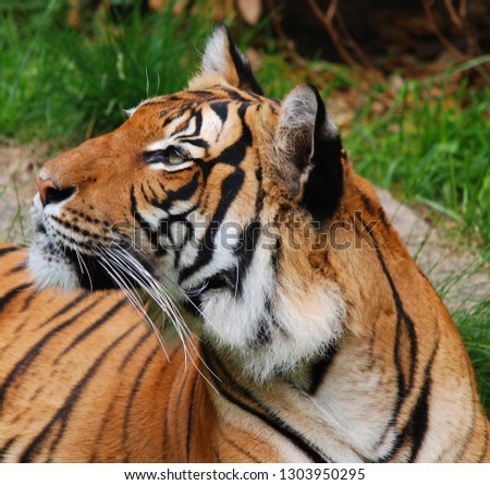Amur Siberian tiger is a Panthera tigris tigris population in the Far East, particularly the Russian Far East and Northeast China #1303950295
