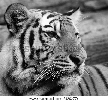Amur Tiger in Black and White - stock photo