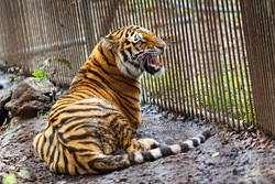 Amur tiger in captivity. The mature growling Amur tiger lies at the high strong metal rods of a large cage.