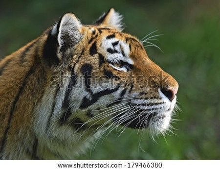 Amur Tiger in the natural conditions of nature #179466380