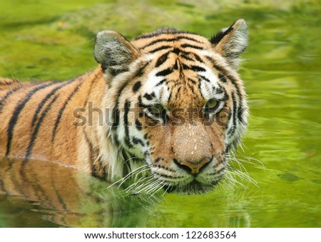 Amur Tiger in Water - stock photo