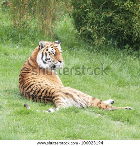 Amur Tiger or Siberian tiger lying on green grass.