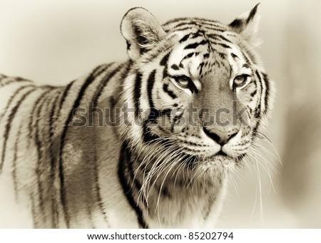 Amur tiger (Panthera tigris altaica) #85202794