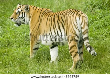 Amur Tiger (Panthera tigris altaica) - landscape orientation