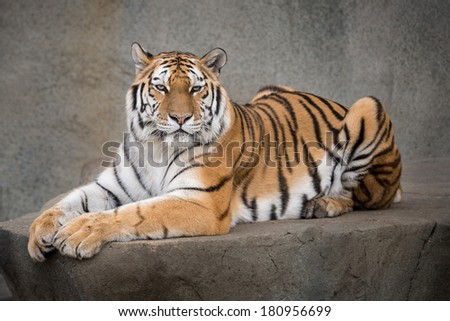 Amur tiger (Panthera tigris altaica) laying on ledge