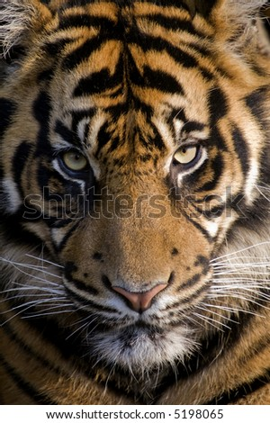 Amur Tiger (Panthera tigris altaica) - portrait orientation - stock photo