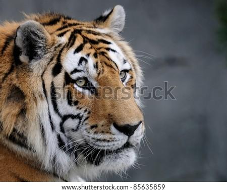 Amur tiger (Panthera tigris altaica) profile