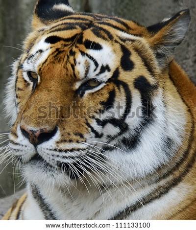 Amur Tiger (Panthera Tigris Altaica) Resting