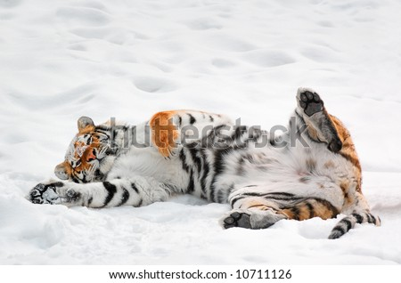 Amur Tiger (Panthera tigris altaica) Rolls in the Snow - captive animal