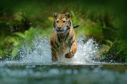 Amur tiger running in the river. Animal in forest stream. Siberian tiger splashing water. Wild cat in nature habitat.