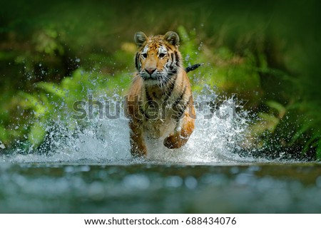 Amur tiger running in the river. Animal in forest stream. Siberian tiger splashing water. Wild cat in nature habitat. #688434076