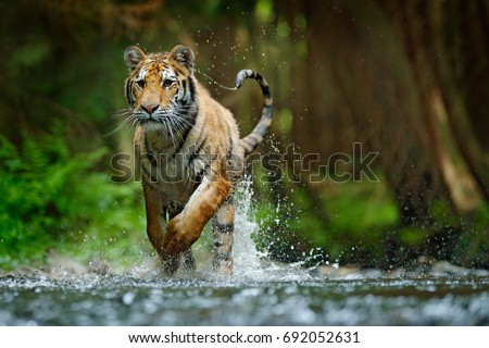 Amur tiger running in the river. Dangerous animal, taiga, Russia. Animal in forest stream. Siberian tiger splashing water. Wild cat in nature habitat. #692052631