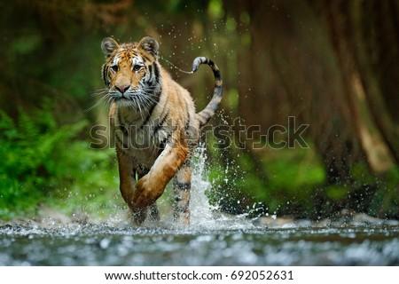 Amur tiger running in the river. Dangerous animal, taiga, Russia. Animal in forest stream. Siberian tiger splashing water. Wild cat in nature habitat. #692052631