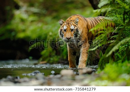 Amur tiger walking in river water. Dangerous animal in tajga, Russia. Animal in green forest stream.