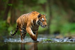 Amur tiger walking in the water. Dangerous animal in taiga, Russia. Animal in green forest stream. Grey stone, river droplet.