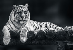 Amur tiger with black stripes lying down on wooden deck. Full size grayscale portrait. Black and white with blurred background. Wild animals watching, big cat